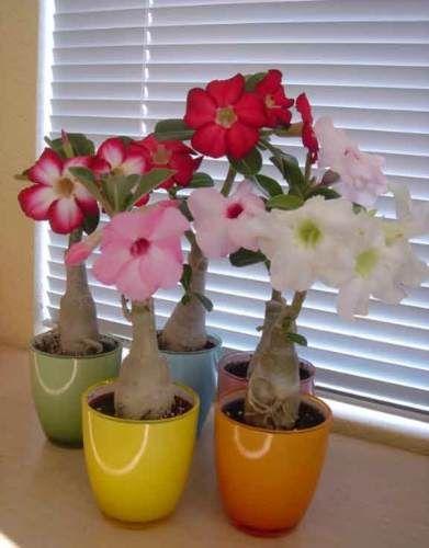 Jardim Da Terra Como Cultivar Rosas Do Deserto